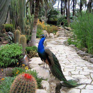 Peacock in Elche, Spain