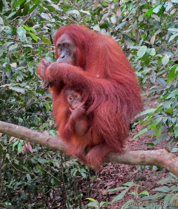 An Orangutan and her baby eat breakfast in Sumatra.