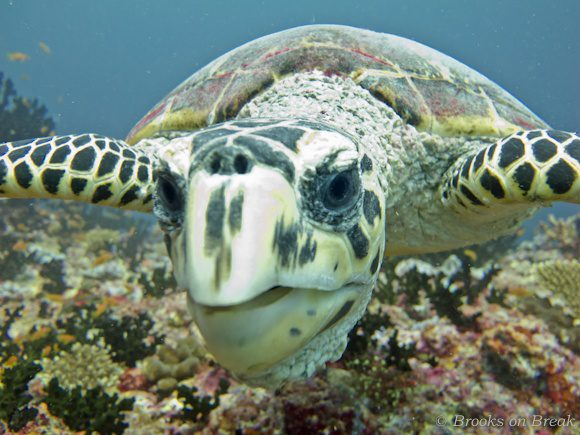 Brooks being investigated by a turtle in the Maldives.