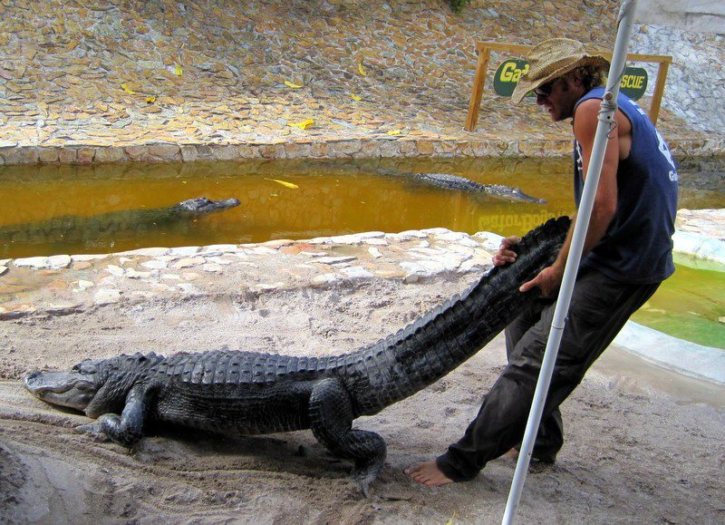 How to move an alligator, should you need to know.
