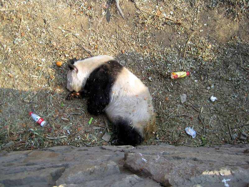 The extremely sad panda view at the Beijing Zoo.