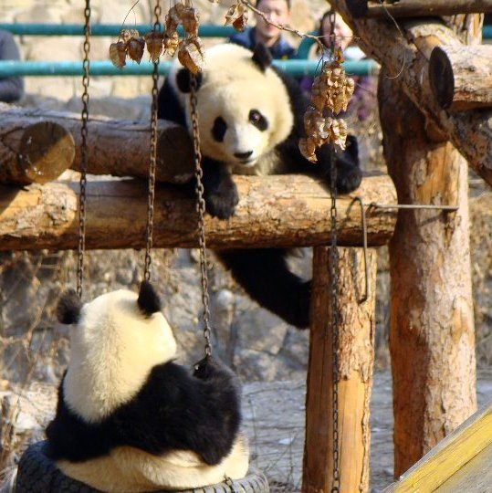 Adorable pandas at the Beijing Zoo!
