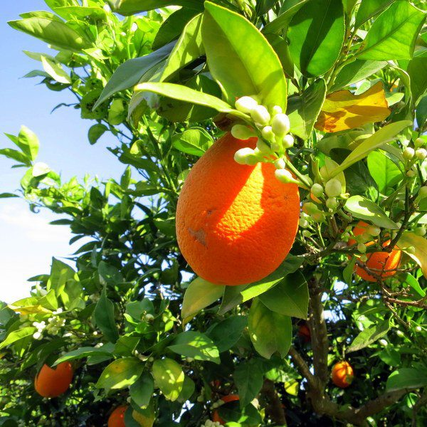 The scent of orange blossoms wafted through the breeze.
