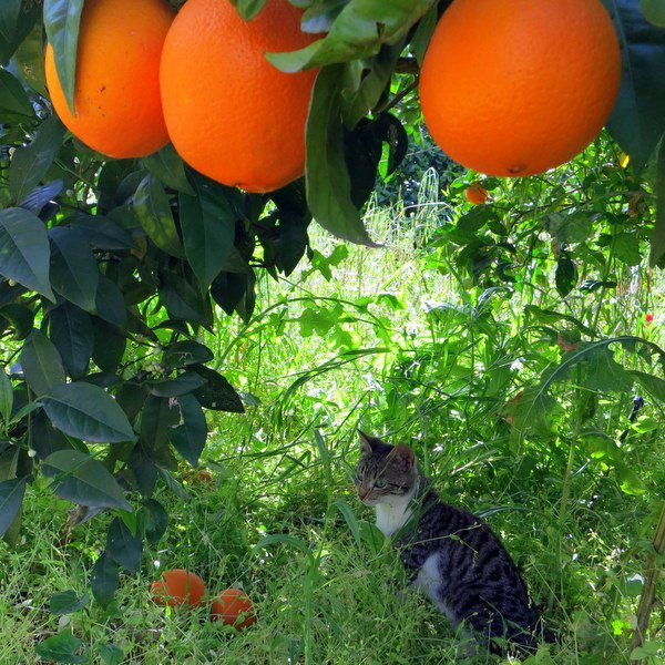 Look at the fierce cat lurking under the heavy fruit trees.