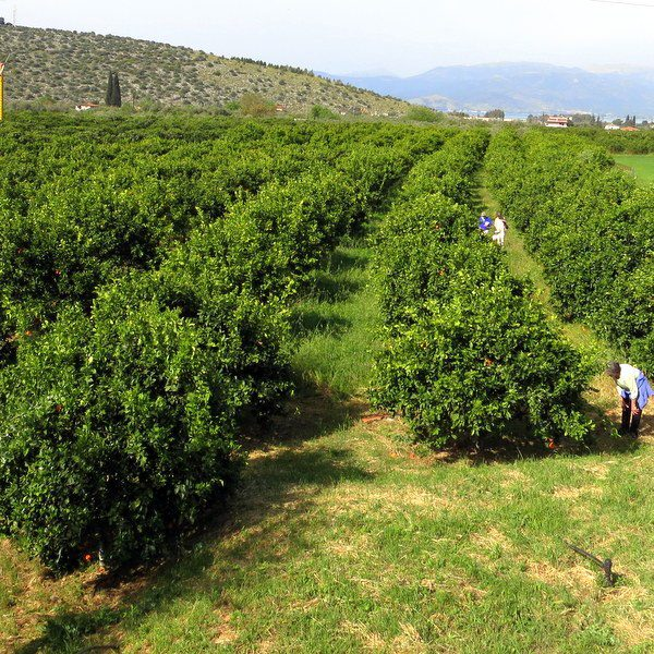 Look at the tiny people picking oranges! What must Zeus think?