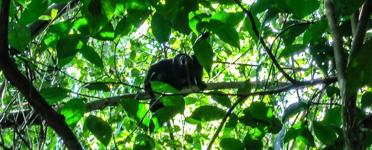 A howler monkey (SO LOUD!) high in the trees during our Monkey River tour and jungle trek. We saw a ton of other animals, including giant iguanas and alligators!