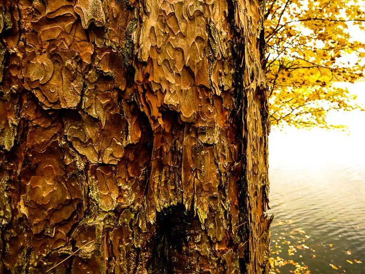 Gorgeously textured bark against a lake.