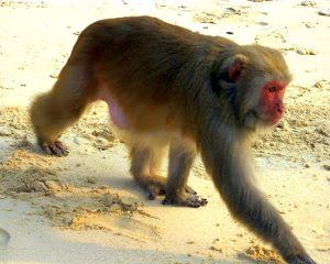 Halong Bay's Monkeys Attack Beach!