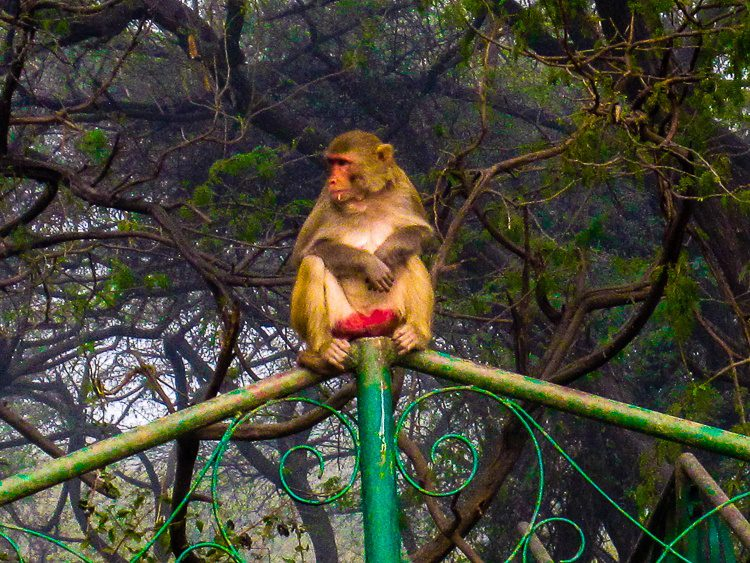 One of many monkeys we saw galavanting around New Delhi.