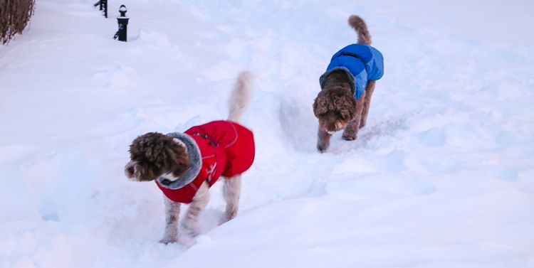 Fluffy, frolicking animals are awfully cute in deep snow, especially with jaunty jackets!
