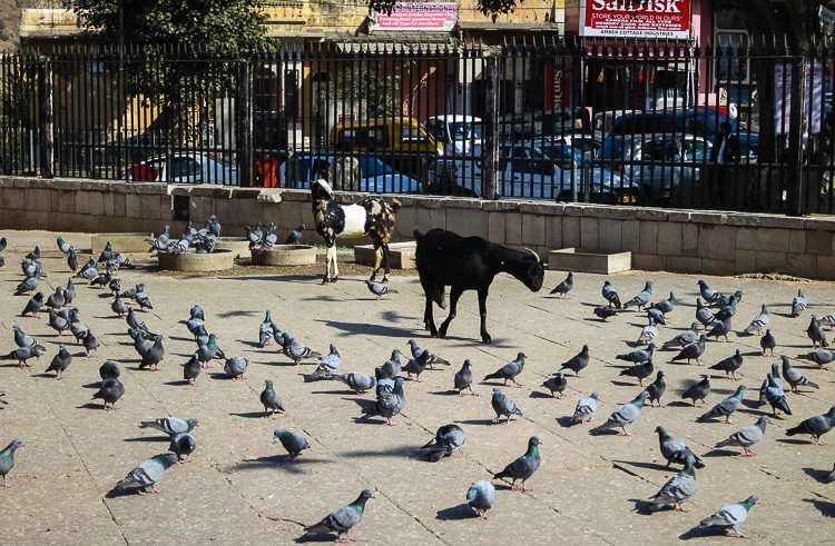 Goats and pigeons abound in public spaces in India.