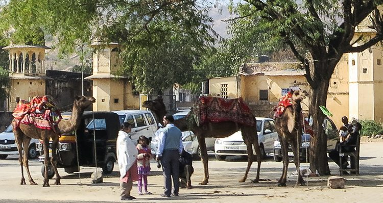 Rajasthan is CAMEL COUNTRY!