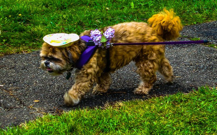 This dog, wearing a hat and flower corsage in the Arboretum, almost made me cry.