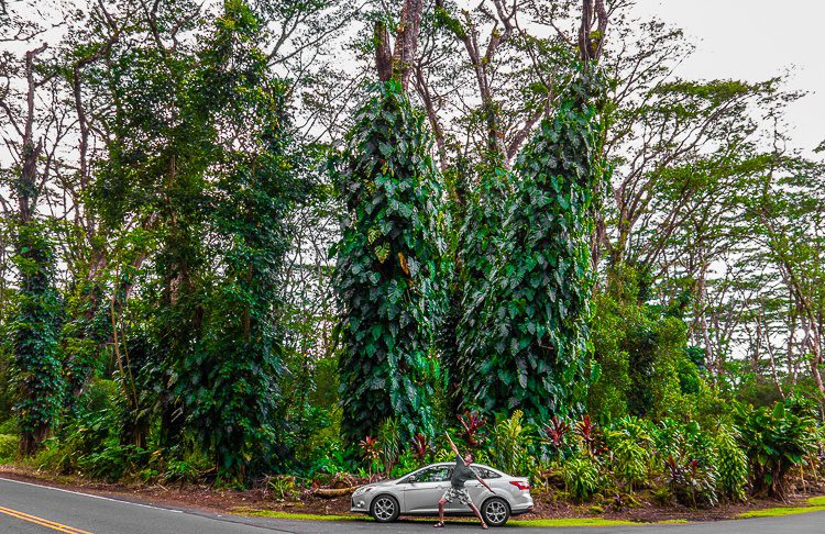 These Hawaii trees are wild...