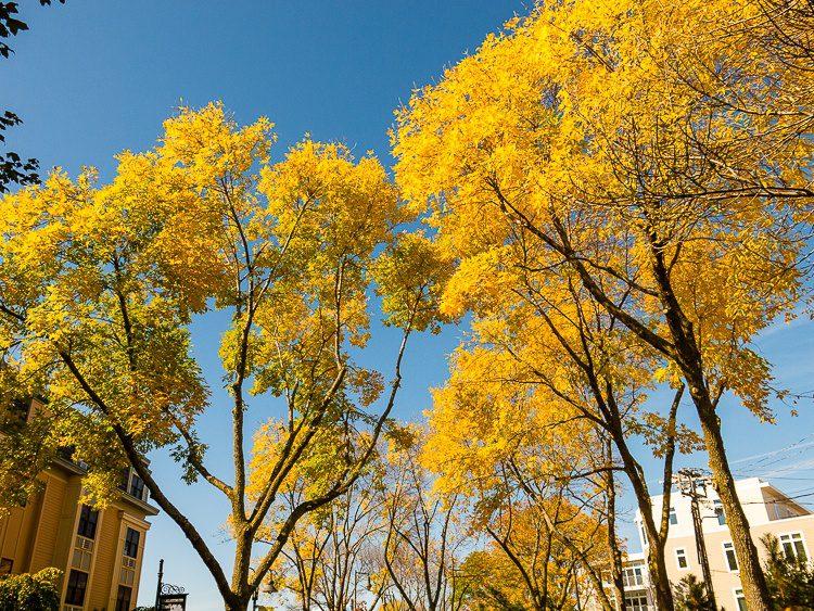 Full-out golden leaves!