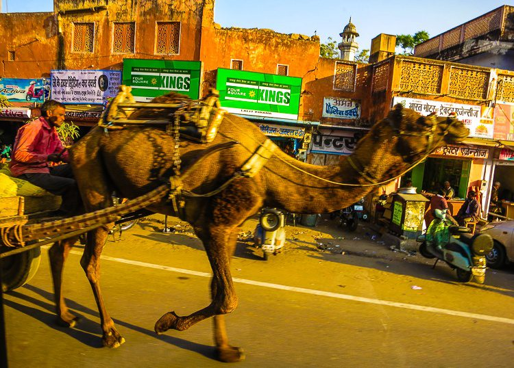 Camel on the road!