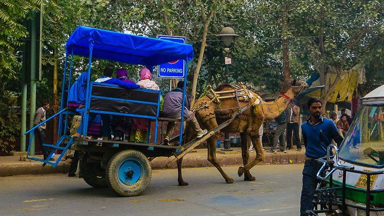 Camel taxi coming through...