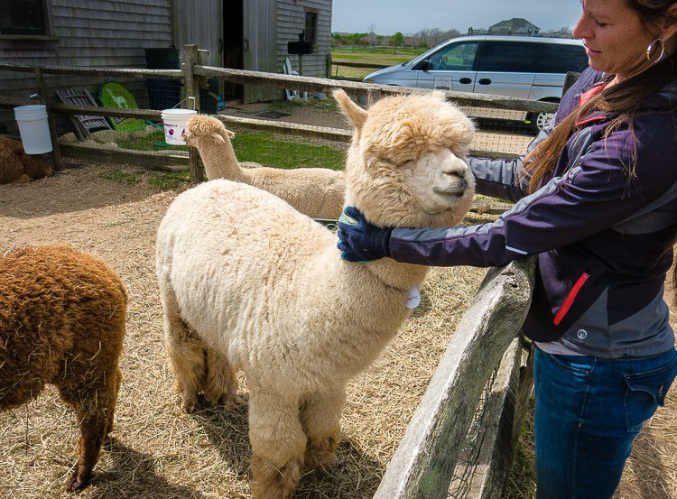 The alpacas were so fluffy, and you could pet them!