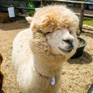 The Most Fun Thing on Martha's Vineyard: Alpaca Farm!