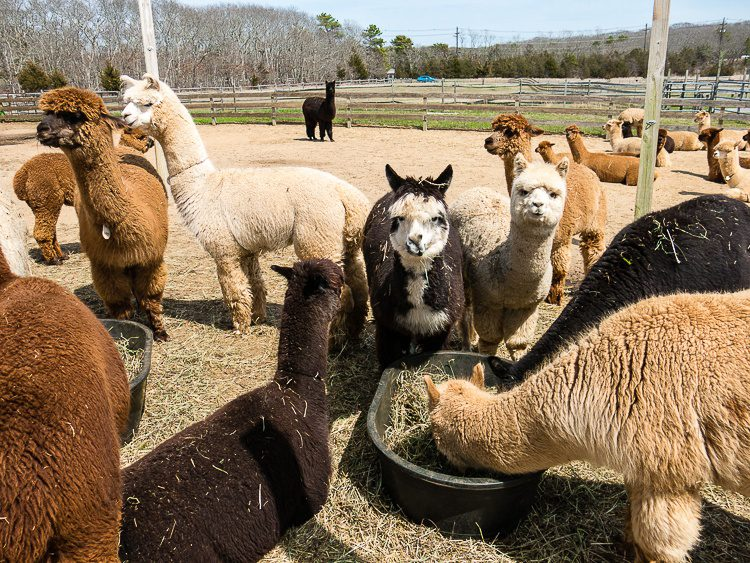Which alpaca would you pick?