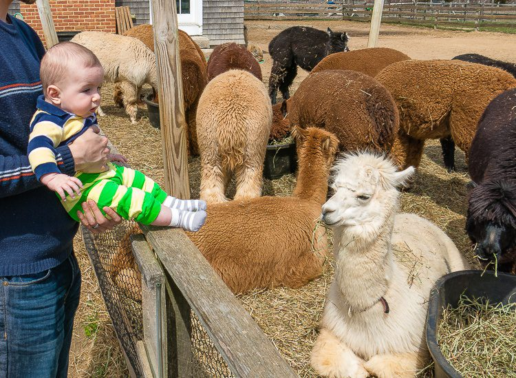 Alpacas are awesome!