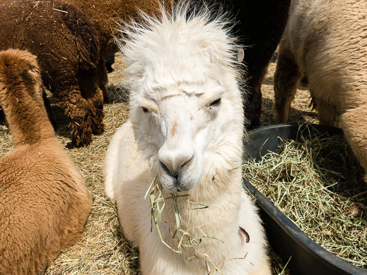 This dude was an intense alpaca, and his hair was hip.