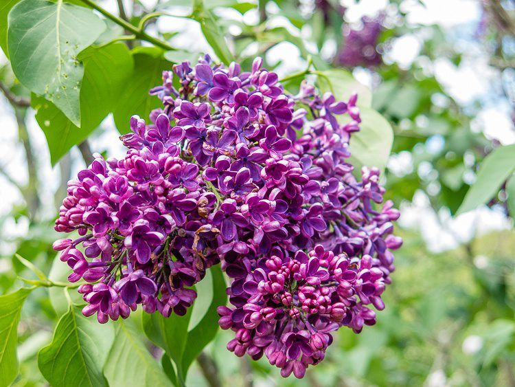 These lilacs are in the shape of Australia.