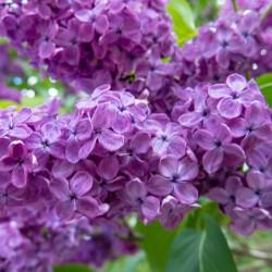 Don't Miss Boston's Arboretum in Spring: Flower Heaven!