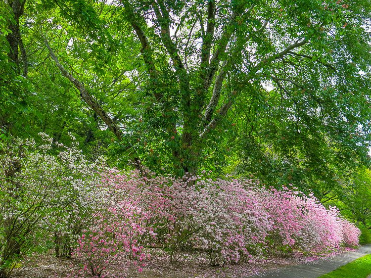 Explosions of pink flowers beneath each tree.