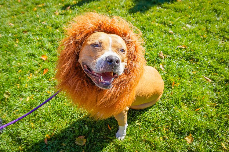 Lion dog. Its owners were dressed as circus trainers!