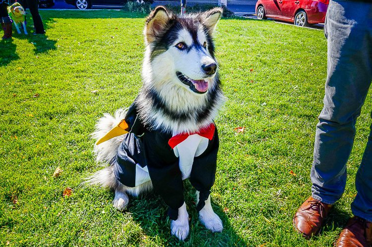 Husky as penguin in tuxedo. Genius.