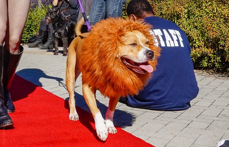Lion dog, strutting on the red carpet.