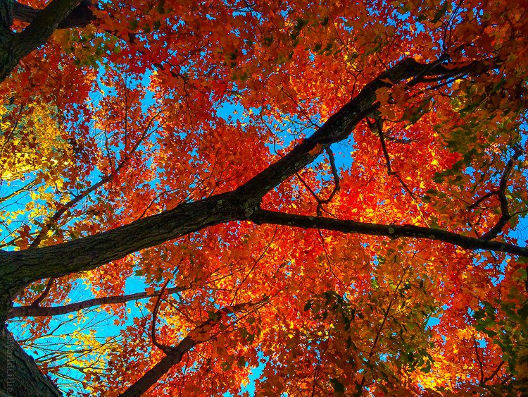 A red explosion of autumn leaves in New England!