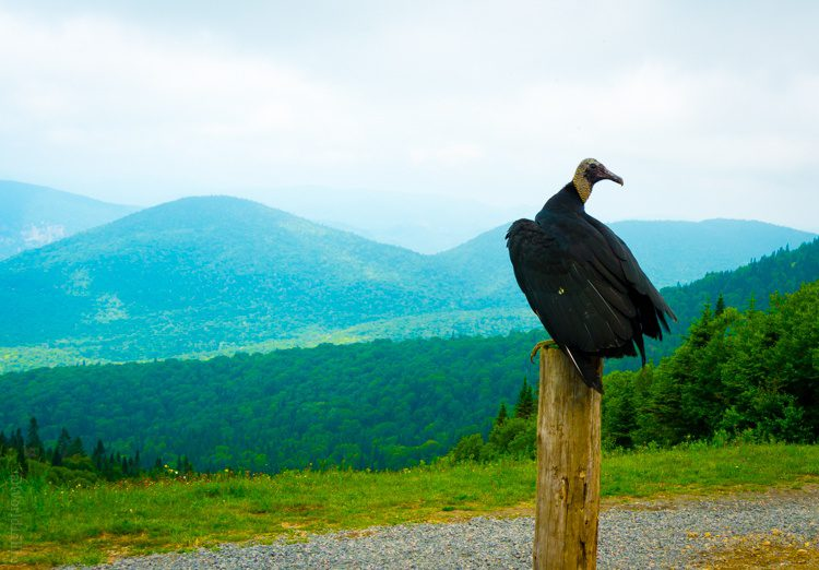 The drape of the vulture's wings reminds me of a couture ballgown!