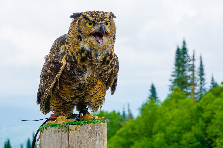 Zowie! An owl up close in Mont Tremblant, Quebec!