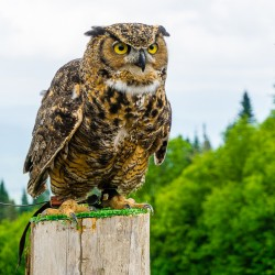 The Crazy Birds of Prey Show in Mont Tremblant, Quebec