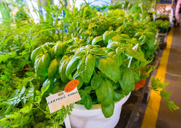 Delectable fresh basil plants.