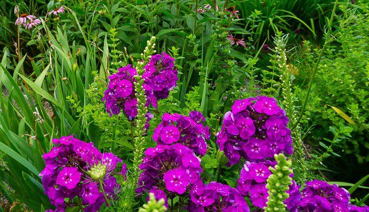 Magenta flowers to look at while dining on Seneca Lake.