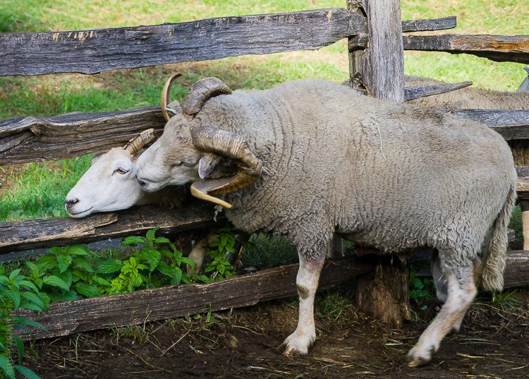 Sheep hugging Sturbridge, MA
