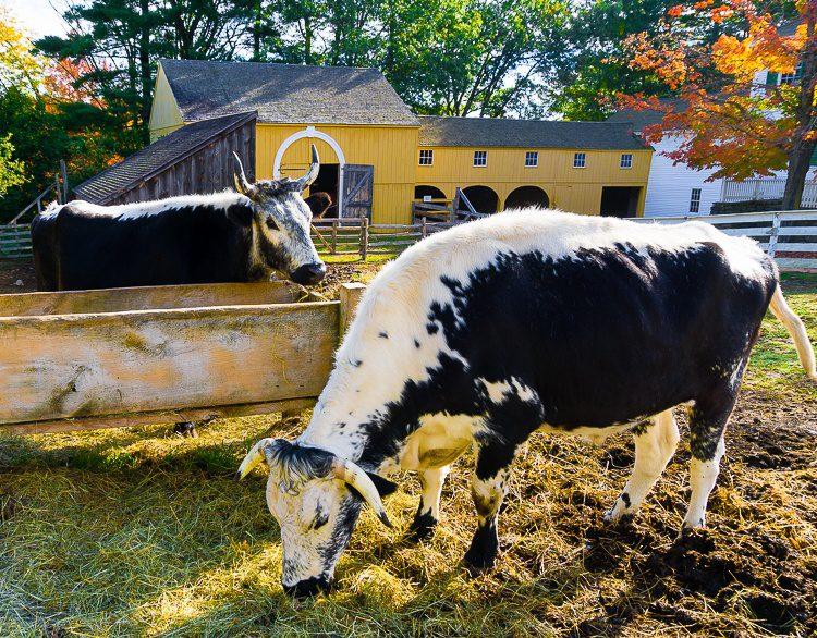 Old Sturbridge Village cows