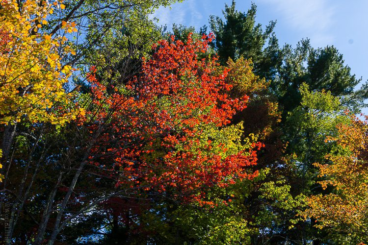 A burst of autumnal red.