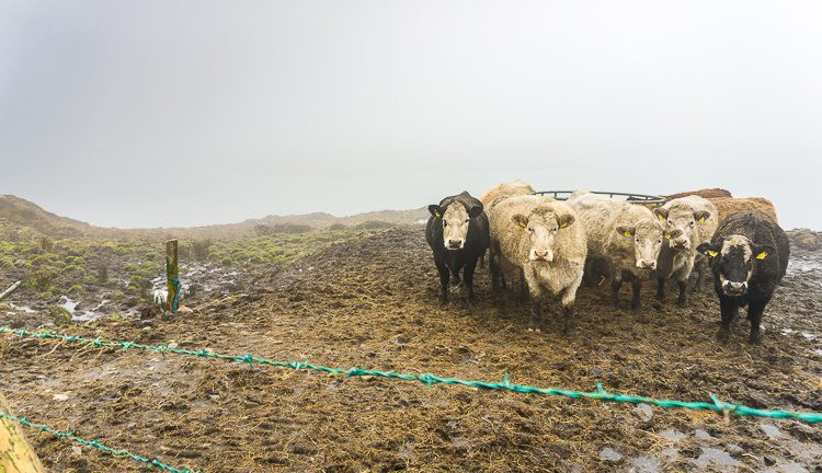 We spotted these cows on Ireland's Sky Road in Connemara. Don't hire cows as babysitters.