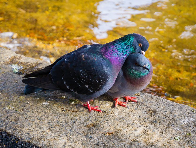 Pigeons huddled together for winter warmth.