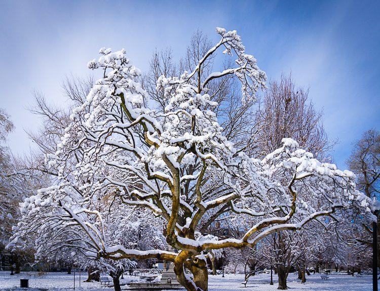 Snowy, happy trees in the Boston Public Garden.