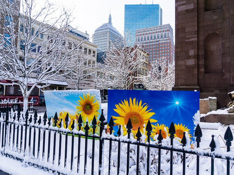 Public art of sunflowers near Copley Square contrasts with the snow.