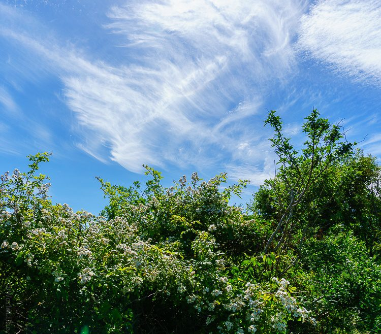 Downy Block Island flowers reaching for sister clouds.