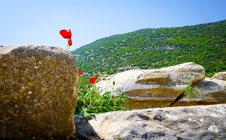 Bright red flowers in front of the rolling green hills around Ephesus.