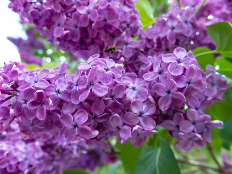 Lilacs, photographed with my G9X.