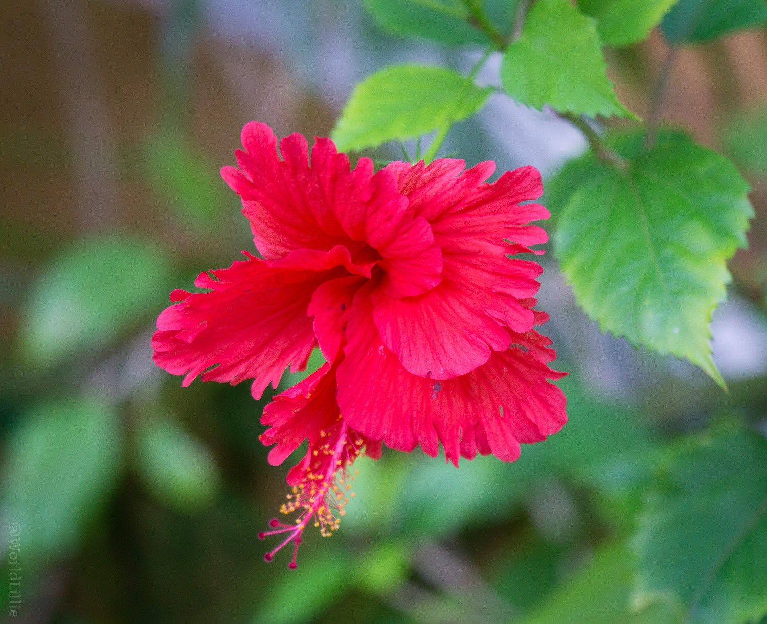 A solo flower, happy and frilly in red.