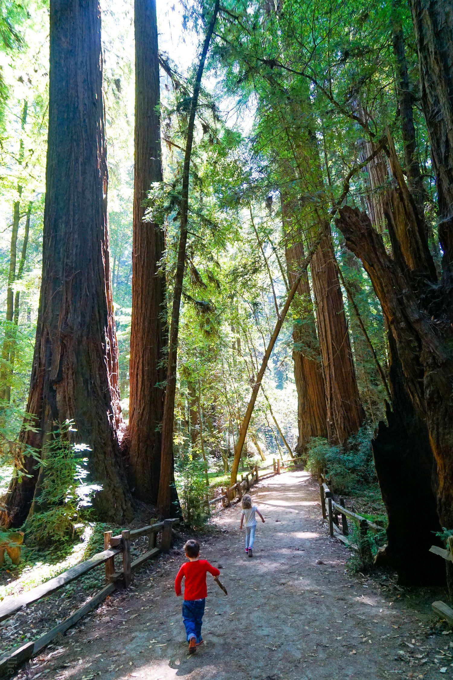 A California Redwoods Hike Near Santa Cruz, Ideal for Kids: The Redwood Grove Loop Trail in Henry Cowell State Park is the best day trip for CA family travel!